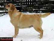 PL CH PL JCH A's Naughty But Nice (Chancellor Merry - Mellows Killing Fantasy), owner: Kociokwik Labradors, Poland